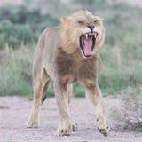 Lion walking on the rainy plains of Etosha Royalty Free Stock Photos