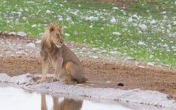 Lion walking on the rainy plains of Etosha Royalty Free Stock Photography