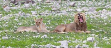 Lion walking on the rainy plains of Etosha Royalty Free Stock Photo