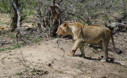 Lion walking in the savanna Stock Images