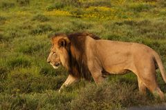 Lion walking Royalty Free Stock Photo