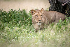 Lion walking towards the camera in the high grass. Royalty Free Stock Photography