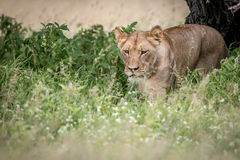 Lion walking towards the camera in the high grass. Royalty Free Stock Images