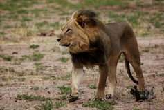 Lion walking with wind through mane Stock Photo