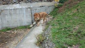 Lion Walks Back And Forth metrajes