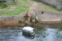Lion wants keg. A young male lion yearns for the floating beer keg in the water Stock Photos