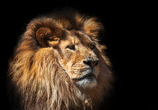 Lion in wardrobe Stock Photos