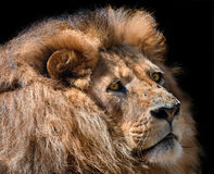 Lion in wardrobe Stock Photo