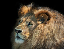 Lion in wardrobe. A moody lion thinking isolated against black stock photos