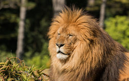 Lion Warmth of Sun Stock Image