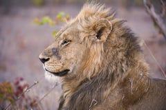 Lion Warrior Stock Photography