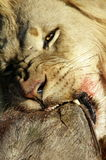 Lion with warthog kill. A male lion stares at the camera while feeding on a warthog he killed Royalty Free Stock Images