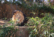 Lion at Washington DC National Zoo Royalty Free Stock Photos