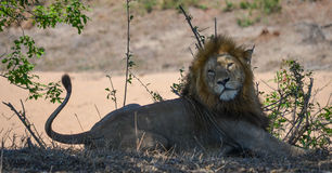 Lion watches from the shade, Kruger Park, South Africa Royalty Free Stock Image