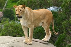 Lion watching. Its prey, ready to pounce Royalty Free Stock Photography