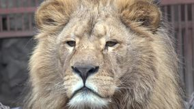 Lion Watching Intently Closeup 4K UltraHD, UHD stock footage