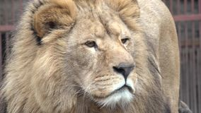 Lion Watching Intently zooming close-up 4K UltraHD, UHD stock footage
