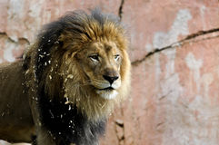 Lion. A lion watching movement in the far distance Stock Image