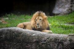 Lion watching something Royalty Free Stock Photos