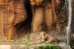 Lion by waterfall Royalty Free Stock Images