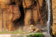 Lion and Waterfall (Horizontal) Stock Image