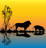 Lion Waterhole Stock Photos