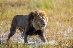 Lion is on the way. Okavango Delta. Royalty Free Stock Image