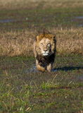 Lion is on the way. Okavango Delta. Stock Photography