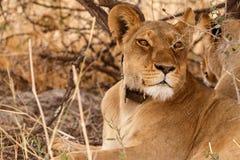 Lion Wearing Radio Collar - Okavango Delta - Moremi N.P. Royalty Free Stock Photos