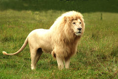 lion white Стоковые Фото