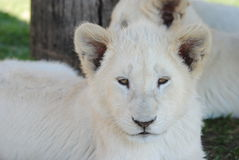 Lion. White cubs africa adorable Royalty Free Stock Photo