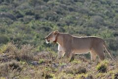 Lion in the wild. Staring ahead intently royalty free stock photo