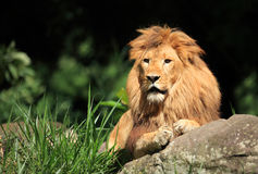 Lion in the wild. Male lion out in the wilderness Royalty Free Stock Images