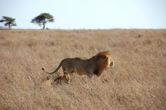 Lion in the wild Royalty Free Stock Images