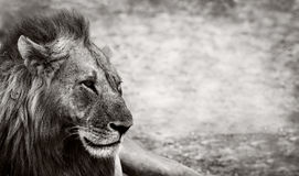 Lion. Wild African Male Lion resting with space for text Royalty Free Stock Photography