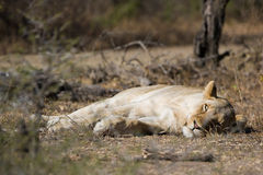 Lion in wild South Africa Royalty Free Stock Photo