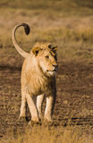 Lion. Wild lion in the Tanzanian Serengetti Royalty Free Stock Photos