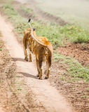 Lion in wild Royalty Free Stock Image
