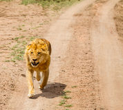 Lion in wild Royalty Free Stock Photo