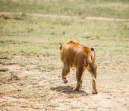 Lion in wild Royalty Free Stock Photos