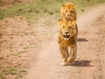 Lion in wild Stock Photography