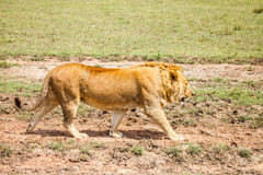 Lion in wild Stock Images