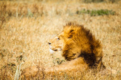 Lion in wild Royalty Free Stock Images