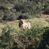 Lion in wilderness. Young lion - addo elephant np Royalty Free Stock Photos