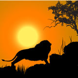 Lion, wildlife. Silhouette of a lion, wildlife Stock Images