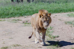 Lion Wildlife Imagen de archivo libre de regalías