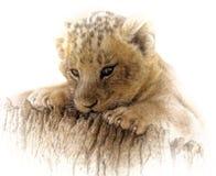 Lion, Wildlife, Mammal, Cat Like Mammal Stock Photo