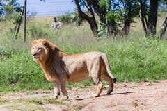 Lion Wildlife Park Stock Image