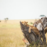Lion in wildlife Royalty Free Stock Photography