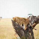 Lion in wildlife Royalty Free Stock Image
